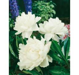 Paeonia lact. ´Shirley Temple´ / Pivonka bylinná, C1,5