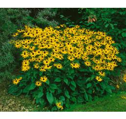 Rudbeckia fulgida ´Goldsturm´ / Rudbekia žiarivá, C1,5