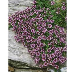 Thymus serpyllum / Materina dúška úzkolistá, K9