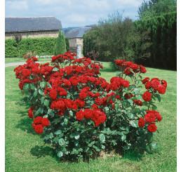 Rosa ´Limar´ / Ruža mnohokvetá tmavočervená, krík, BK