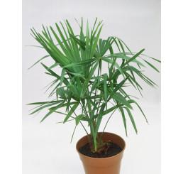 Trachycarpus fortunei / Trachykarp Fortunov, bal. 5 s