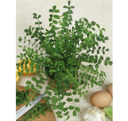 Pimpinella anisum / Bedrovník anízový, bal. 2,5 g