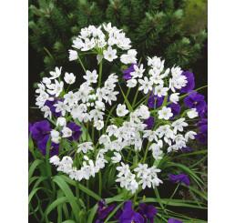 Allium ´Cowanii´ / Okrasný cesnak neapolský, bal. 15 ks, 5/+