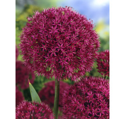 Allium ´Purple Sensation´ / Purpurový cesnak, bal. 5 ks, 12/+