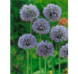Allium caeruleum / Okrasný cesnak modrý, bal. 10 ks, 4/+