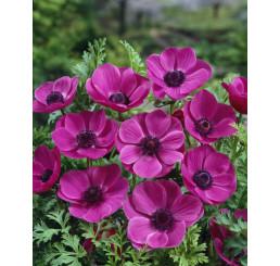Anemone ´Sylphide´ / Veternice jednod. ružové, bal. 15 ks, 7/8