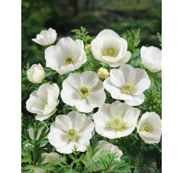 Anemone ´The Bride´ / Veternice jednod. biele, bal. 15 ks, 7/8