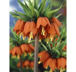 Fritillaria imper. ´Rubra Maxima´ / Cisárska koruna červená, 24/+