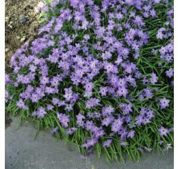 Ipheion Uniflorum (Triteleia uniflora) / Triteleja mix, bal. 15 ks, I.
