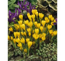Crocus ancyrensis ´Golden Bunch´ / Botanický šafran, bal. 15 ks, 5/+