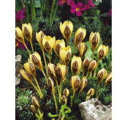 Crocus ´Gipsy Girl´ / Botanický šafran, bal. 15 ks, 5/+