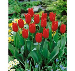 Tulipa ´Oscar´ / Tulipán, bal. 5 ks, 11/12