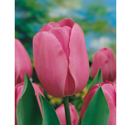 Tulipa ´Don Quichotte´ / Tulipán, bal. 5 ks, 11/12