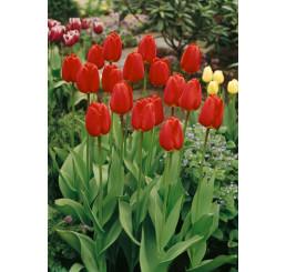 Tulipa ´Parade´ / Tulipán, bal. 5 ks, 11/12