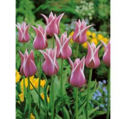 Tulipa ´Ballade´ / Tulipán, bal. 5 ks, 11/12