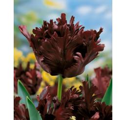 Tulipa ´Black Parrot´ / Tulipán, bal. 5 ks, 11/12
