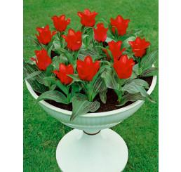 Tulipa ´Red Riding Hood´ / Tulipán ´Červená čiapočka´, bal. 5 ks, 11/12