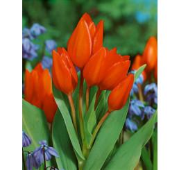Tulipa ´Praestans Fusilier´ / Tulipán, bal. 5 ks, 12/+