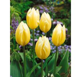 Tulipa ´Sweetheart´ / Tulipán, bal. 5 ks, 11/12
