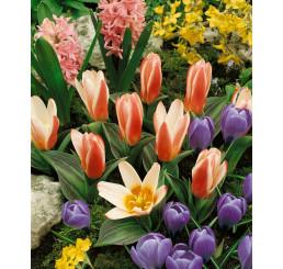 Tulipa ´Heart's Delight´ / Tulipán, bal. 5 ks, 11/12