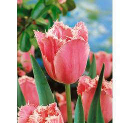 Tulipa ´Fancy Frills´ / Tulipán, bal. 5 ks, 11/12