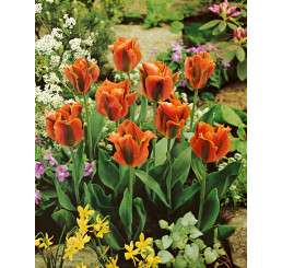 Tulipa ´Artist´ / Tulipán, bal. 5 ks, 12/+