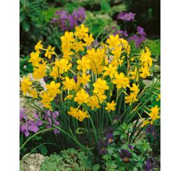 Narcis ´Baby Moon´, bal. 5 ks, 8/+