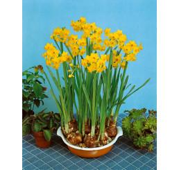 Narcis ´Grand Soleil d´Or´ / Izbový narcis, bal. 5 ks, 13/14