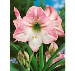 Hippeastrum ´Apple Blossom ´/ Zornica ružovo-biela, 28/30