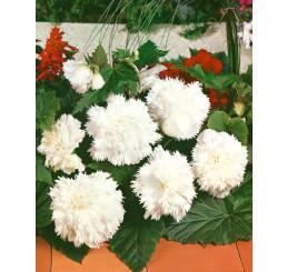 Begonia fimbriata ´White´ / Begónia strapkatá biela, bal. 3 ks, 5/+