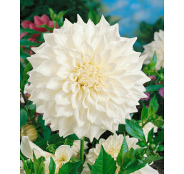 Dahlia ´White Perfection´ / Georgína, I.
