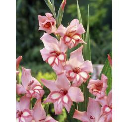 Gladiolus nanus ´Impressive´ / Mečík, bal. 5 ks, 9/10