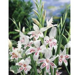 Gladiolus nanus ´Nymph´ / Mečík, bal. 5 ks, 9/10