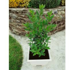 Laurus nobilis / Vavrín lekársky / Bobkový list, 20-30 cm, K9