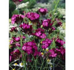 Dianthus carthusianorum / Klinček kartuziánsky, C1