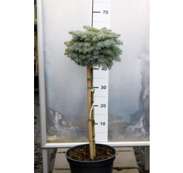 Abies concolor ´Blue Saphir´ / Jedľa srienistá, km. 60 -80 cm, C7,5