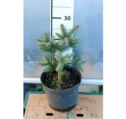 Abies pinsapo ´Horstmann´/ Jedľa španielská, 20-30 cm, C2