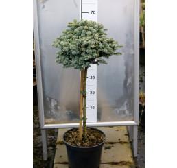 Abies procera 'Glauca Prostrata' / Jedľa strieborná, 60-80 cm, C7,5