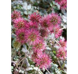 Acaena microphylla ´Kupferteppich´ / Acena malolistá, K9