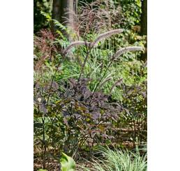 Actaea simplex ´Brunette´ / Ploštičník strapcovitý, C1