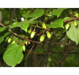 Actinidia kolomikta ´Dr. Szymanowski´ / samopelivé mini kiwi, C1