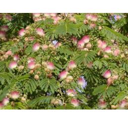 Albizia julibrissin / Albízia ružová, 30-40 cm, C2