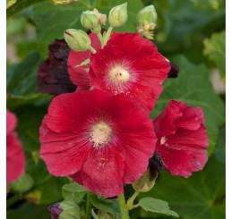 Alcea rosea Mars Magic / Topoľovka červená, K9