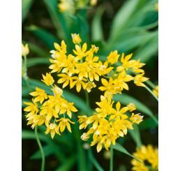 Allium Moly Luteum / Zlatý cesnak, bal. 20 ks, 6/+