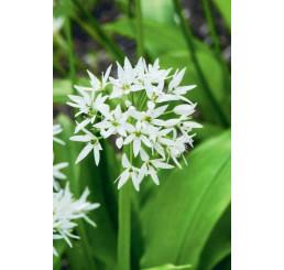 Allium ursinum / Cesnak medvedí, I.