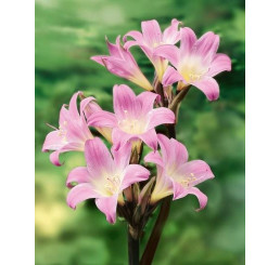 Amaryllis belladonna ´Pink´ / Amarilka ružová, 18/20