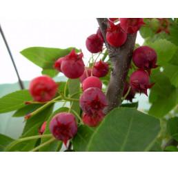 Amelanchier alnifolia ´Thiessen´ / Muchovník, K9