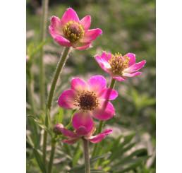 Anemone multifida Annabella Deep Rose / Veternica, K9