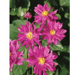 Anemone ´Prinz Heinrich´ / Veternica plnokvetá ružová, C1,5
