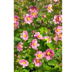 Anemone hupehensis ´Serenade´ / Veternica Hupénska ružová, C1
